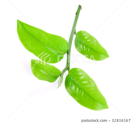 Green tea leaf  isolated on white background 32816167