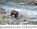 brown, bear, river 32816244