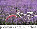 자전거,라벤더,하늬가벤더팜,고성,강원도,한국 32827646