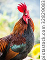 Chicken, farm, garden 32829083