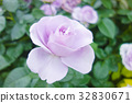 rose, roses, single flower 32830671