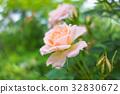 rose, roses, pink 32830672