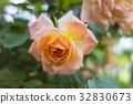 rose, roses, single flower 32830673