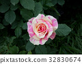 rose, roses, spotted 32830674