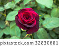 rose, roses, close up 32830681