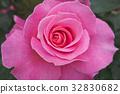 rose, roses, pink 32830682