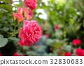 rose, roses, pink 32830683