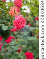 rose, roses, pink 32830684