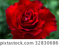 rose, roses, single flower 32830686