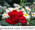rose, drop, water drop 32830687