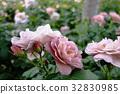 rose, roses, beige 32830985