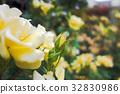 rose, roses, multiple 32830986