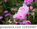 rose, roses, pink 32830987