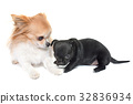puppy and adult chihuahua 32836934