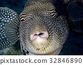 theet detail of Puffer fish black white spotted 32846890