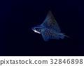eagle ray manta while diving in Maldives 32846898