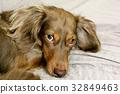 dachshund, dach, daks 32849463