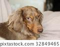 dachshund, dach, daks 32849465
