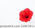 hibiscus, bloom, blossom 32853011