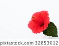 hibiscus, bloom, blossom 32853012