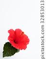 hibiscus, bloom, blossom 32853013