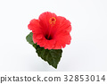hibiscus, bloom, blossom 32853014