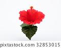 hibiscus, bloom, blossom 32853015