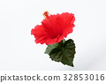 hibiscus, bloom, blossom 32853016