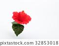 hibiscus, bloom, blossom 32853018