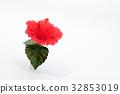 hibiscus, bloom, blossom 32853019