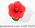 hibiscus, bloom, blossom 32853020