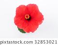 hibiscus, bloom, blossom 32853021