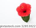 hibiscus, bloom, blossom 32853022