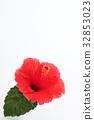hibiscus, bloom, blossom 32853023