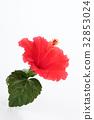 hibiscus, bloom, blossom 32853024