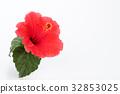 hibiscus, bloom, blossom 32853025