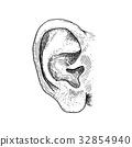 ear, vector, human 32854940