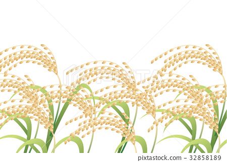 paddy, rice plant, ear of rice 32858189