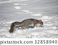 squirrel, squirrels, snowy 32858940
