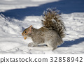 squirrel, squirrels, winter 32858942