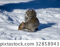 squirrel, squirrels, small animal 32858943