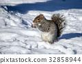 squirrel, squirrels, small animal 32858944