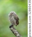 歐亞混血角鴞 幼鳥 小雞 32860436