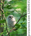 欧亚混血角鸮 小鸡 幼鸟 32860635