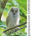 歐亞混血角鴞 幼鳥 小雞 32860650