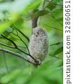 歐亞混血角鴞 幼鳥 小雞 32860651