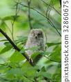 歐亞混血角鴞 幼鳥 小雞 32860675