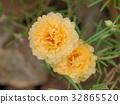 Portulaca flower in the garden. 32865520