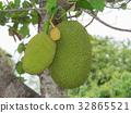 Jackfruit on the tree 32865521