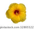 Yellow Hibicus mutabilis flower. 32865522